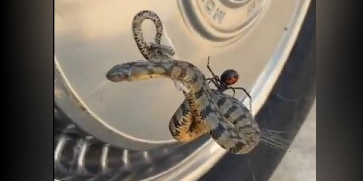 Vídeo mostra como aranha viúva negra usa teia para atacar cobra