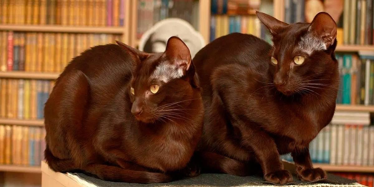 5 raças de gatos raros
