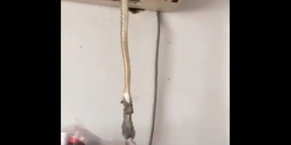 Vídeo de cobra caçando rato em casa impressiona o Twitter