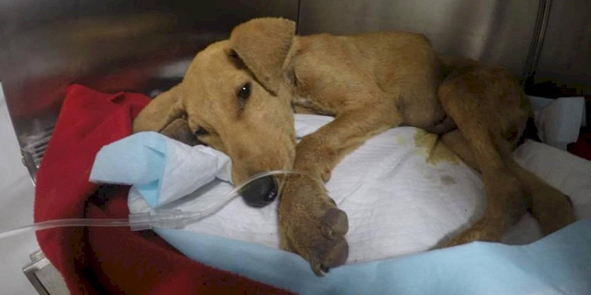 Impacto en Arica: perro de seis meses muere tras ser agredido sexualmente