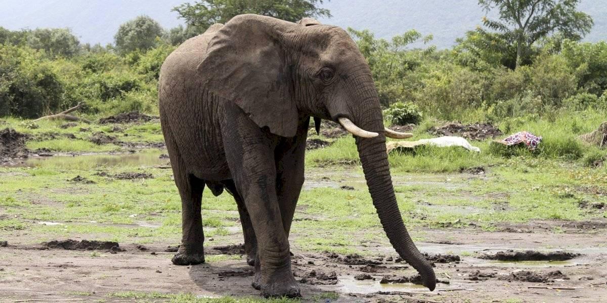 Condenan a 30 años de trabajos forzados a cazador furtivo de elefantes en Congo