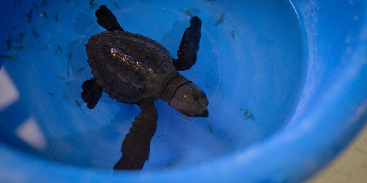 """Extraen de su hábitat a tortuga marina para ser llevada a Quito como """"recuerdo de la playa"""""""