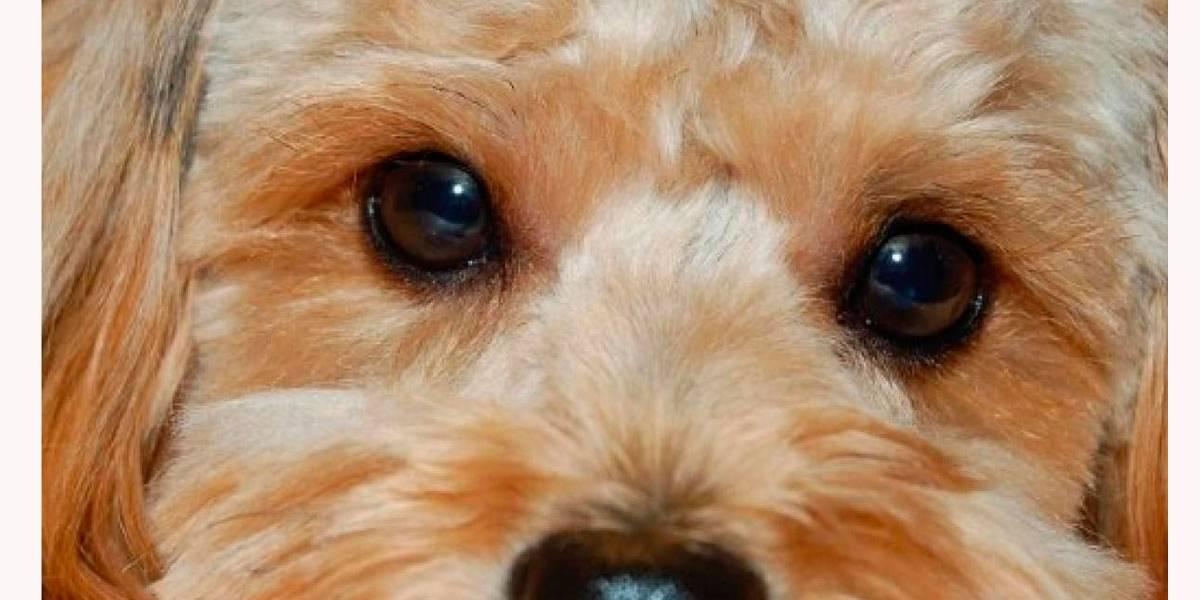 5 dicas para cães com olhos irritados