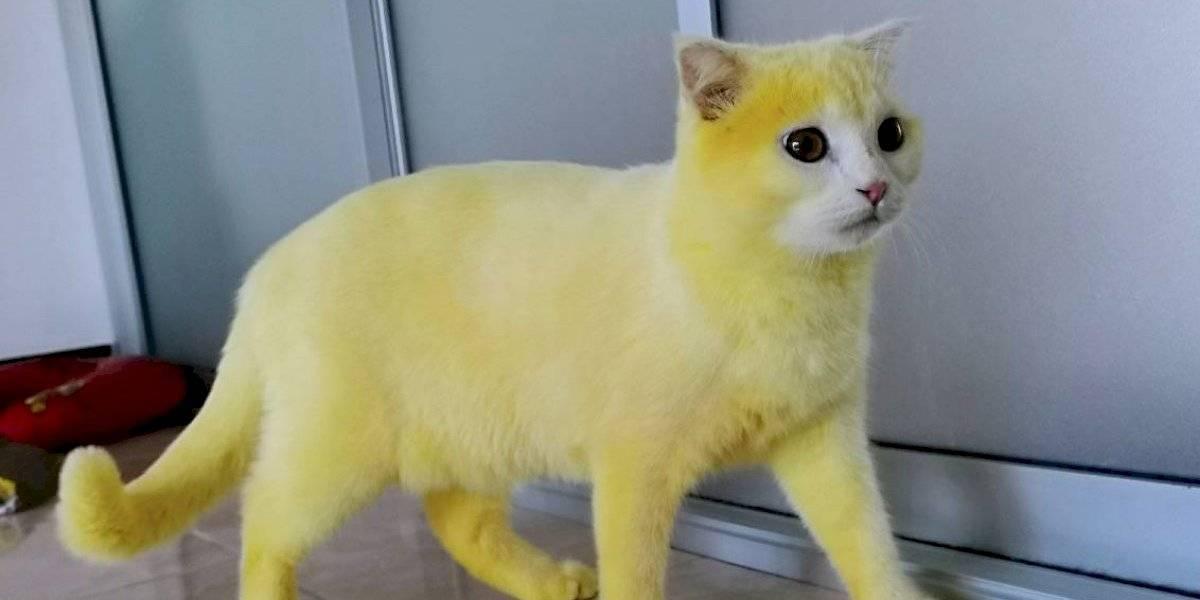 Utilizó un remedio casero para curar a su gato y lo dejó como Pikachu