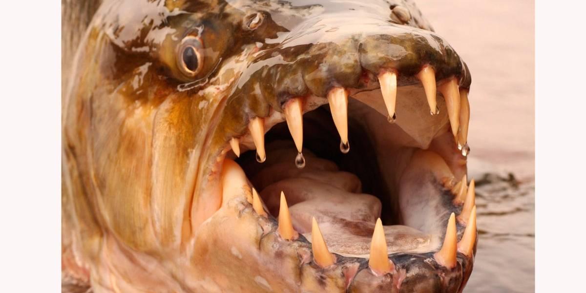 Vídeo: Conheça o peixe-tigre Golias, também conhecido como 'monstro do rio'