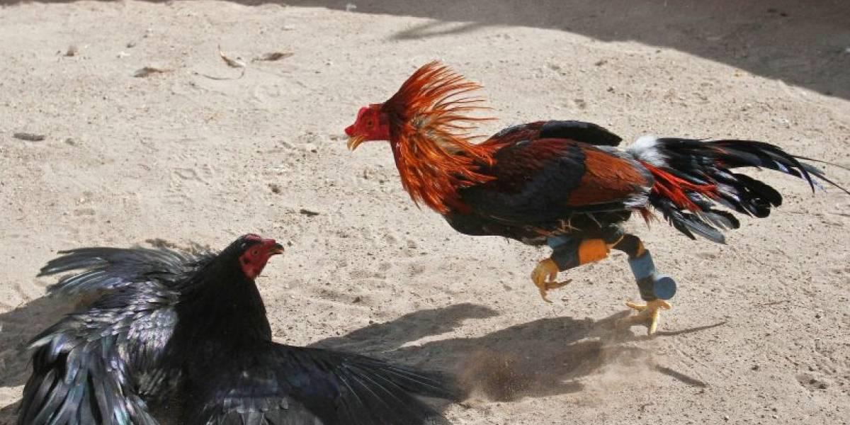 [Video] 20 detenidos por maltrato animal y violar la cuarentena: organizaban y apostaban a las riñas de gallos en Lampa