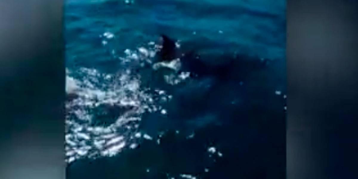 Mãe golfinho morrendo tentando salvar seu filhote do óleo no mar