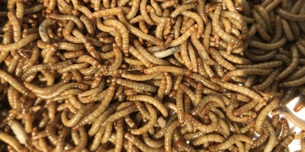 Ciencia.-Un gusano, prometedora fuente alimenticia de proteínas
