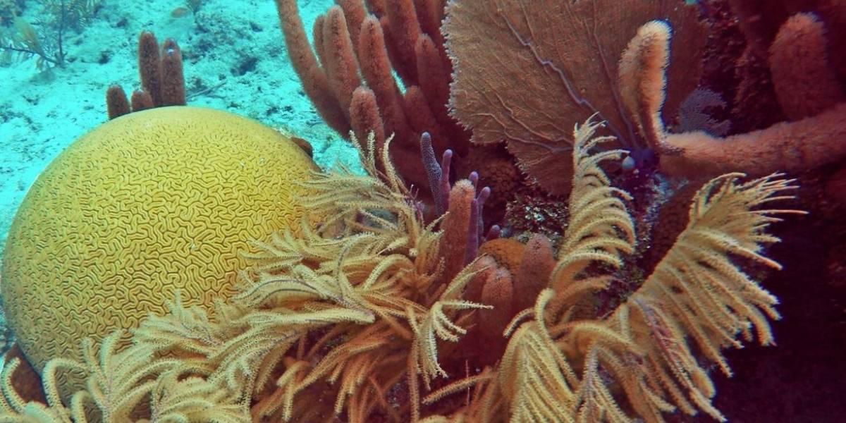 Ciencia.-Los corales blandos, beneficiados por el calentamiento de los océanos