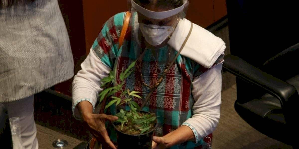 Jesusa Rodríguez lleva planta de marihuana al Senado