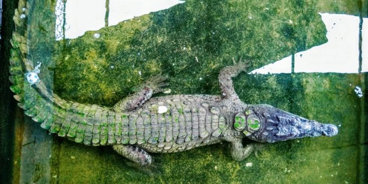 La travesía de este caimán viajero: nadó desde el Magdalena hasta San Andrés Islas