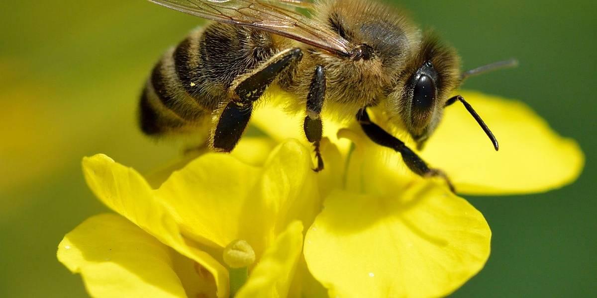 El veneno de las abejas melíferas puede servir para tratar el cáncer de mama