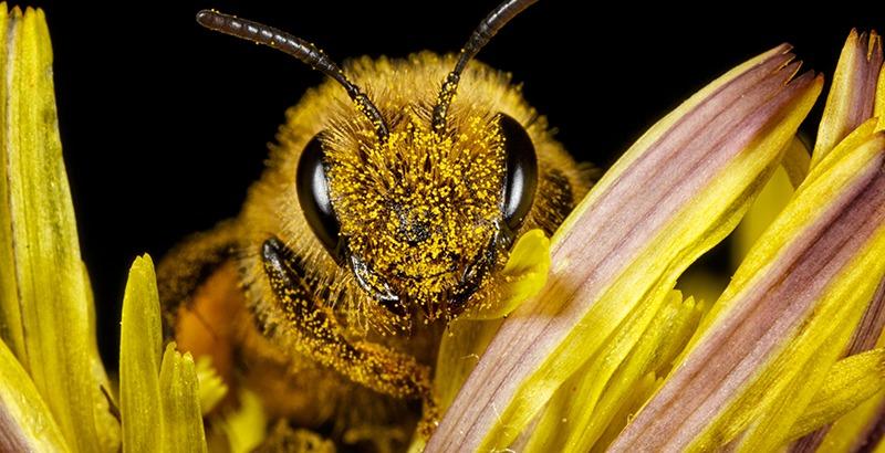 El veneno de la abeja melífera puede usarse para tratar algún tipo de cáncer de mama.