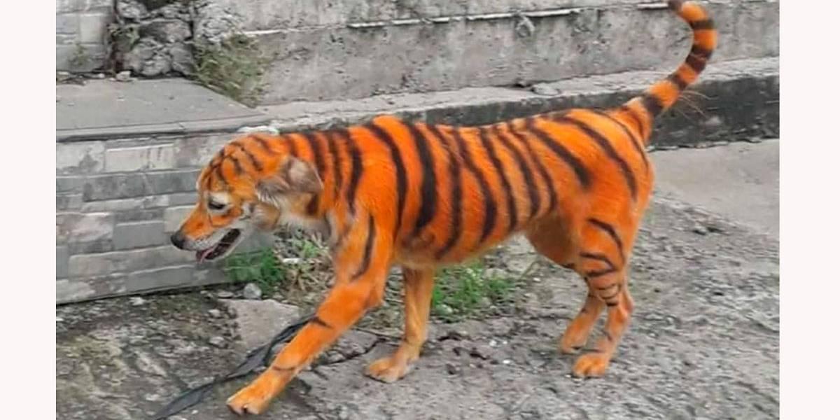 Gato por lebre: cão é pintado com listras para parecer tigre