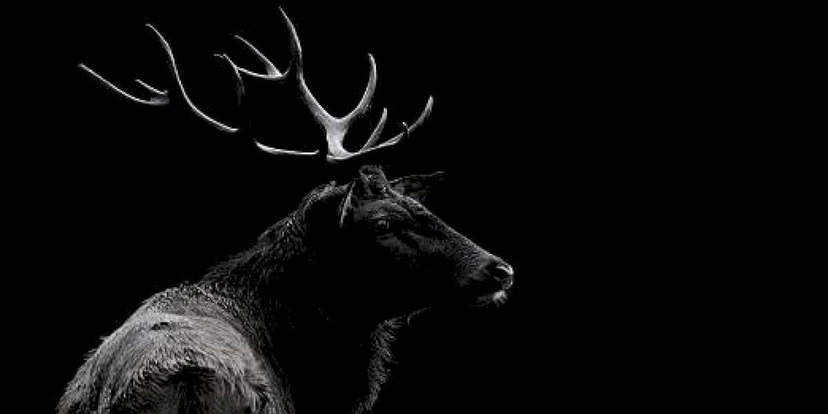 Venganza animal: hombre murió tras ser atacado por un ciervo