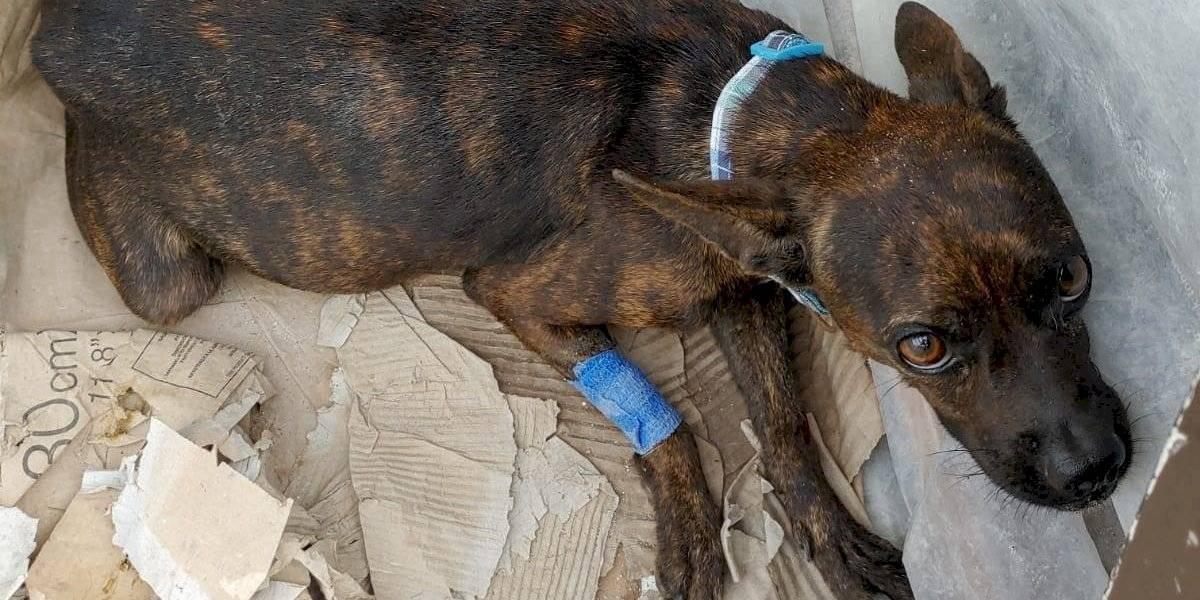 Policía salva a perrita atropellada y descubre que tiene 7 crías en gestación