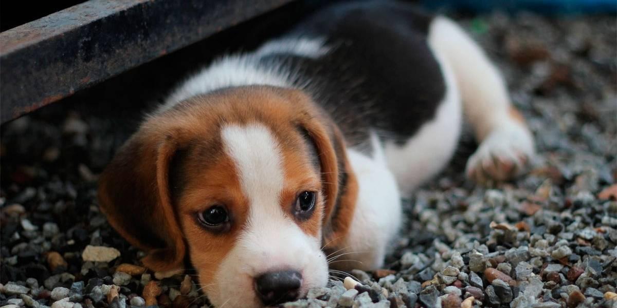 5 raças de cães mais populares na Europa