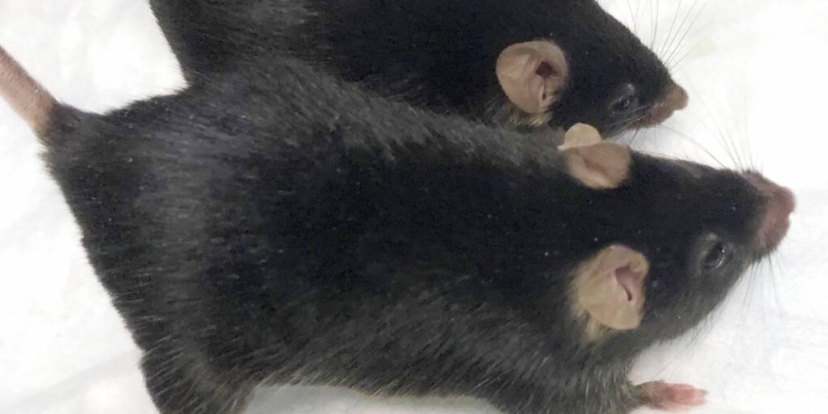 Ratones mutantes enviados al espacio regresan musculosos