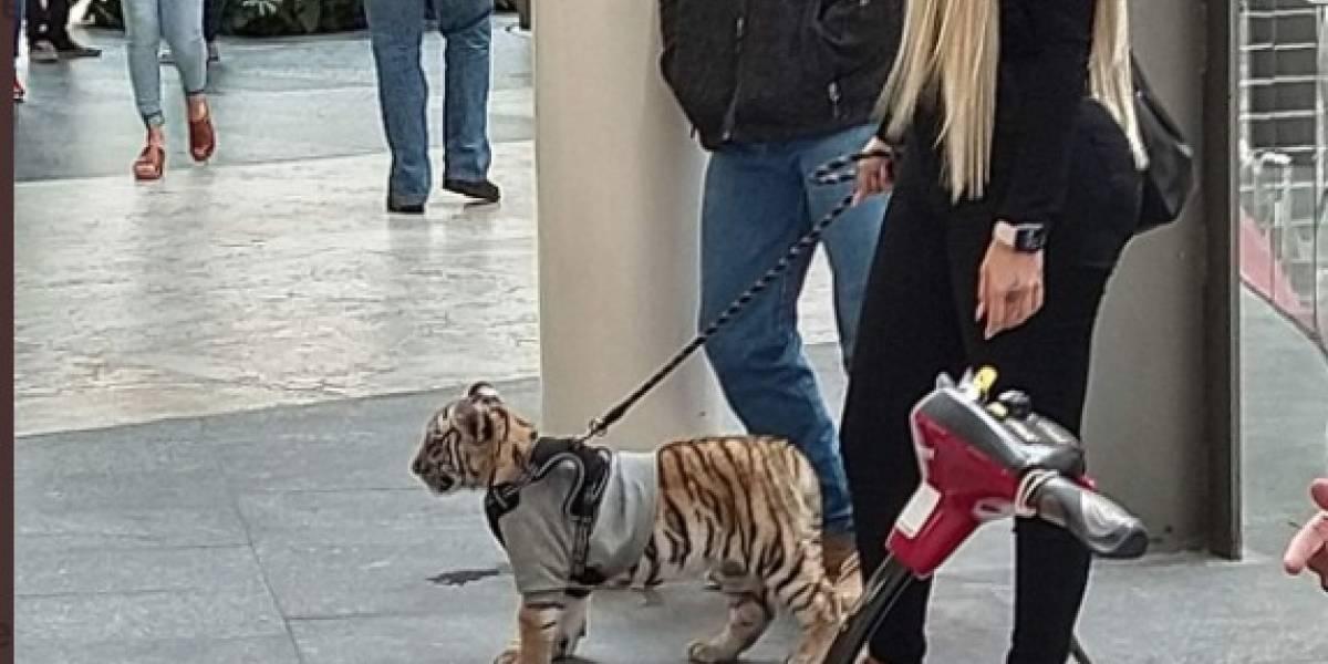 ¡Polémica en México! Captan a mujer paseando a cachorro de tigre de bengala en centro comercial