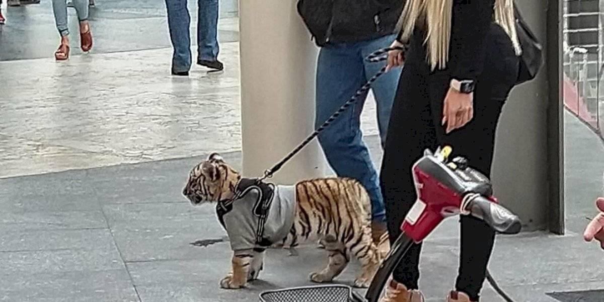 ¿Qué está pasando? mujer pasea su tigre de Bengala por lujoso centro comercial de México