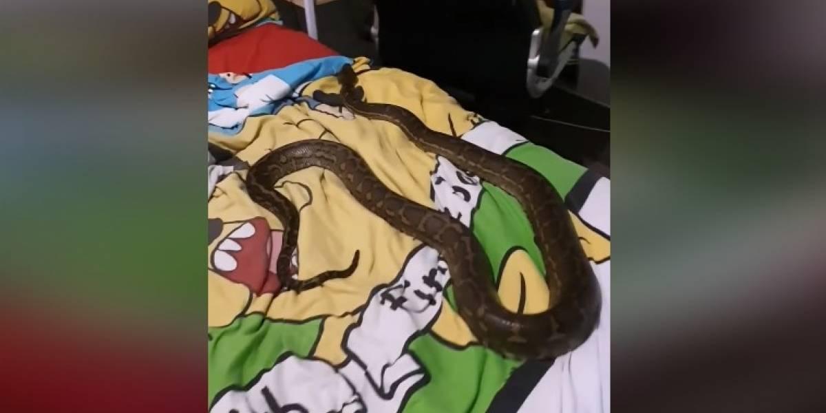 Vídeo mostra momento em que encontram enorme píton tirando soneca na cama de uma criança