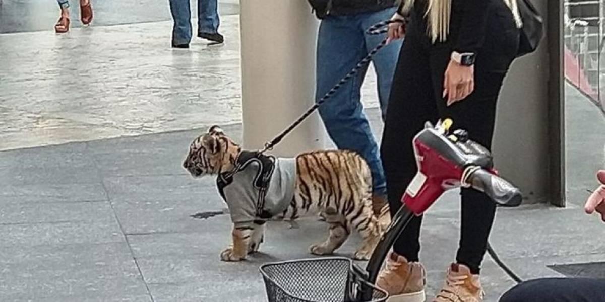 Mina Ayala y su tigre: ¿en México se puede tener un animal exótico como mascota? Te explicamos todo