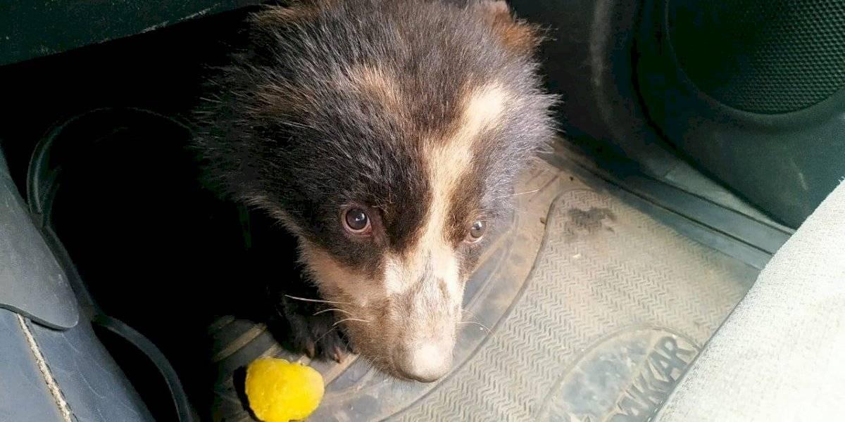 Oso de anteojos, de 4 meses de edad, fue rescatado en Sucumbíos
