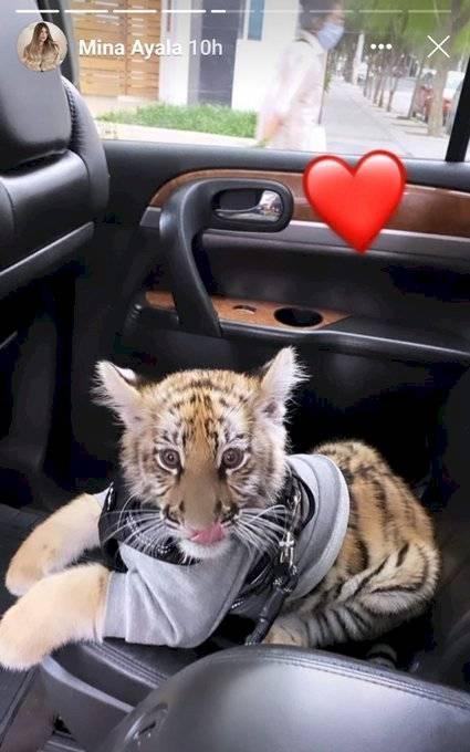 El tigre Milka.