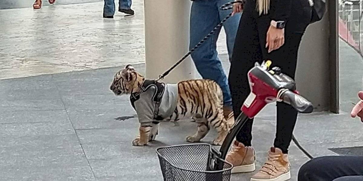 Captan a mujer paseando un tigre de bengala en Antara