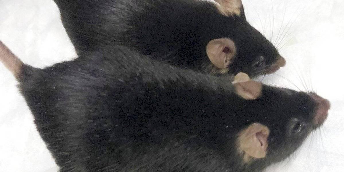Estudio con ratones musculosos da esperanzas a astronautas