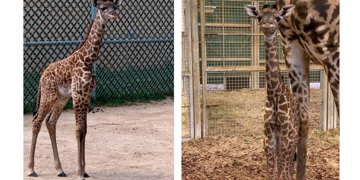 Vídeo mostra filhote de girafa brincando alegremente com a mãe