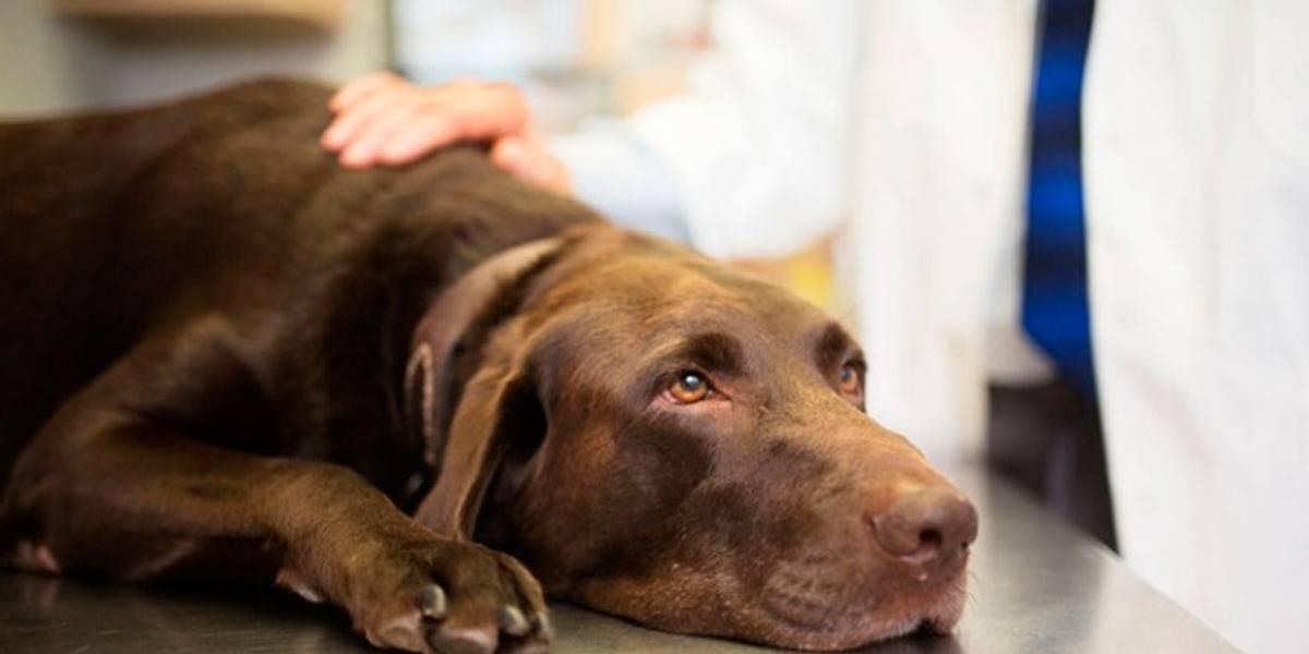 Cães: saiba como prevenir a giardíase