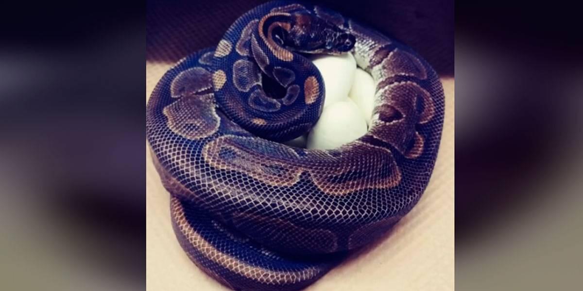 Vídeo: Cobra bota ovos após 15 anos sem contato com macho da espécie