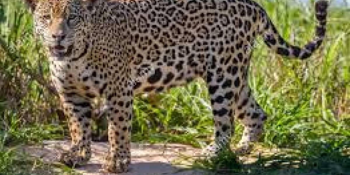 Tragedia ambientalista en Pantanal: megaincendio devasta gigantesco parque brasileño y mata a decenas de jaguares