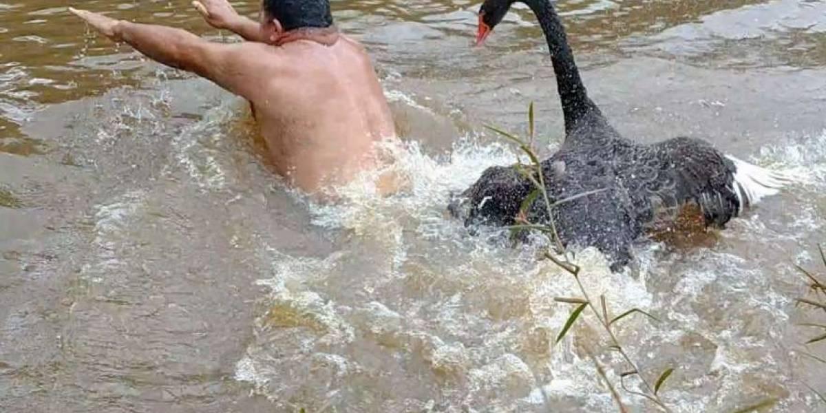ASSISTA: Deu ruim! Cisne raivoso persegue homem no lago