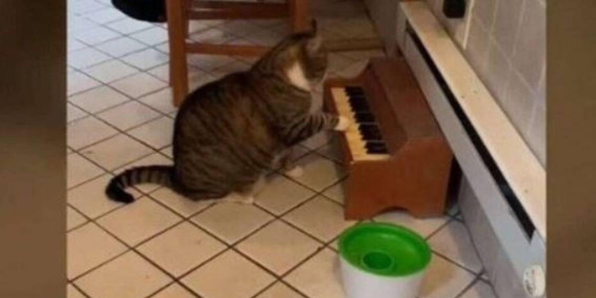 Fofo! Conheça o gatinho que 'toca' piano para avisar seus donos que está com fome