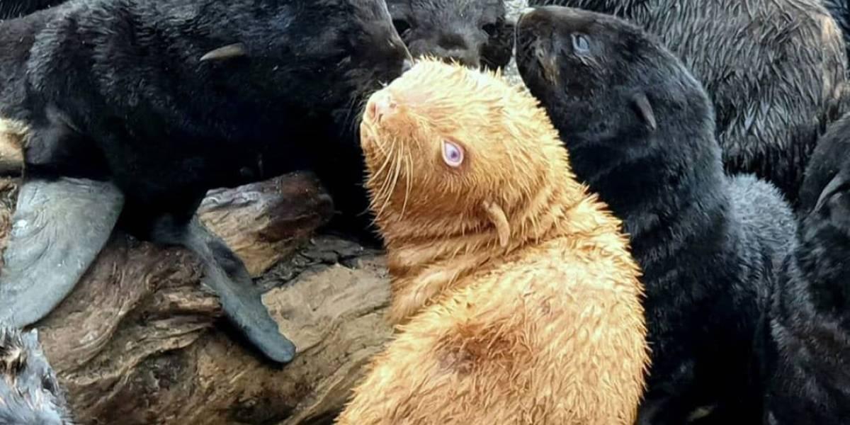 Biólogos mantienen en observación a inusual foca pelirroja, en caso que su manada la rechace por su extraña apariencia