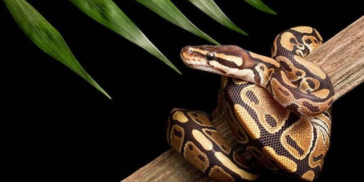 Una serpiente puso siete huevos de manera inexplicable, pues no ha estado cerca de un macho desde hace 15 años