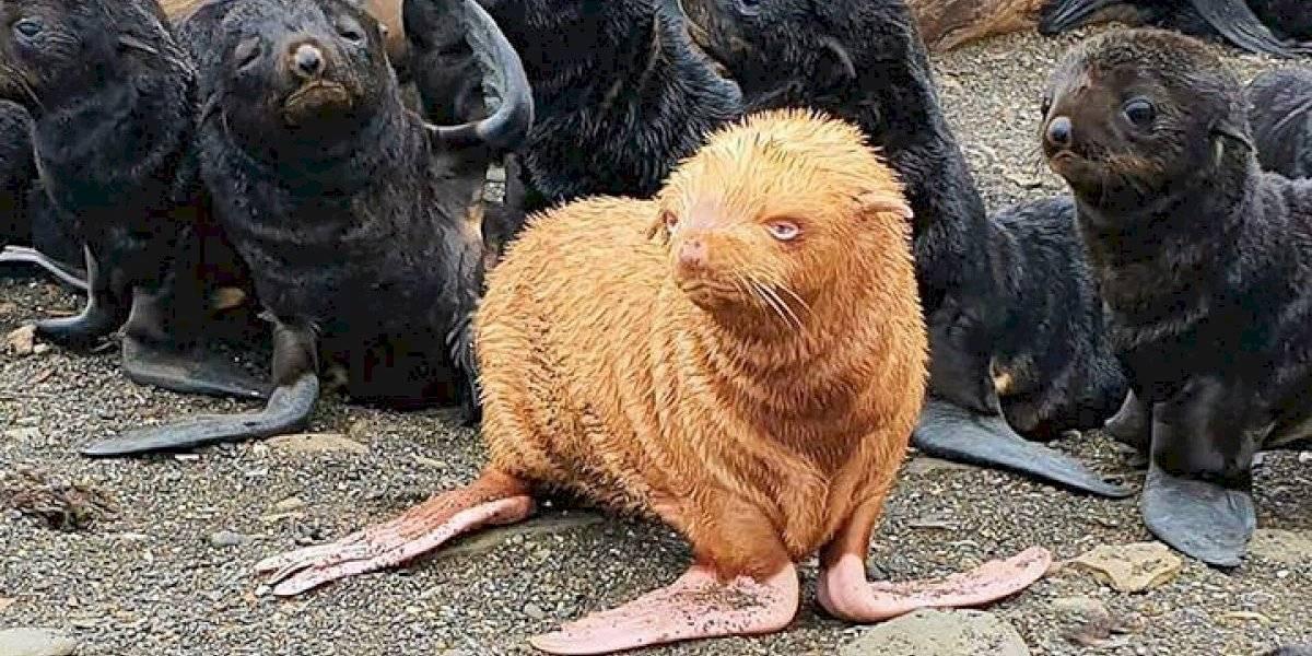 """Lo más triste que leerás hoy: cría de lobo marino albina es discriminada por su colonia cual """"patito feo"""""""