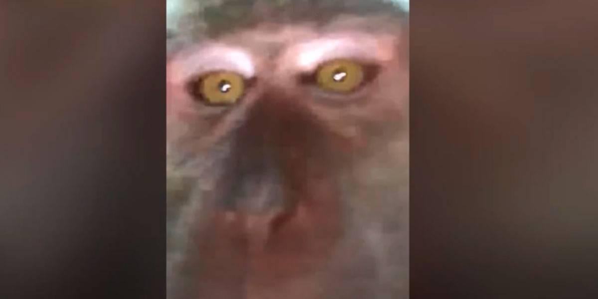 Vídeo: Homem encontra selfie de macaco em seu celular que estava perdido