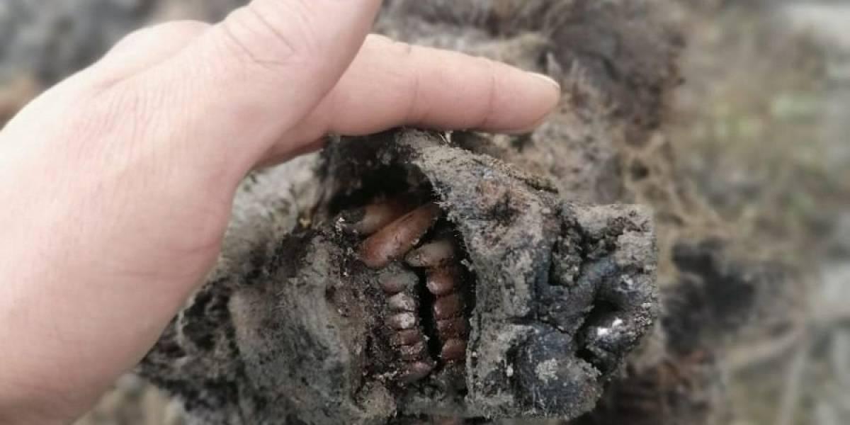 Hallaron la momia de un oso de la Edad del Hielo en Siberia: las fotos son increíbles