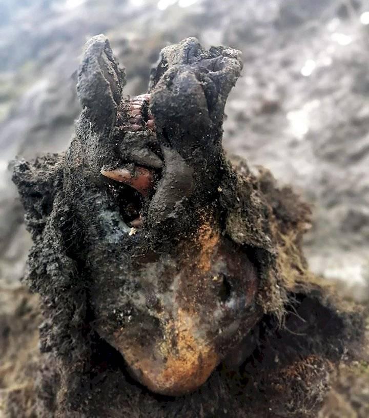 Momia de oso en Siberia