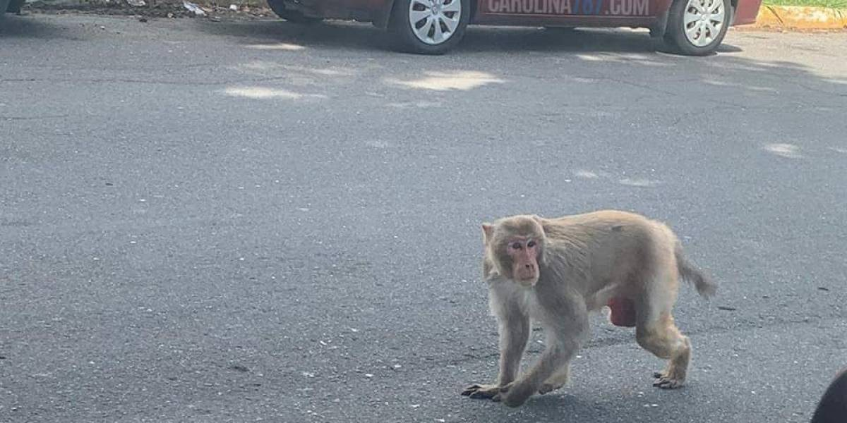 Captan mono por las calles de Carolina