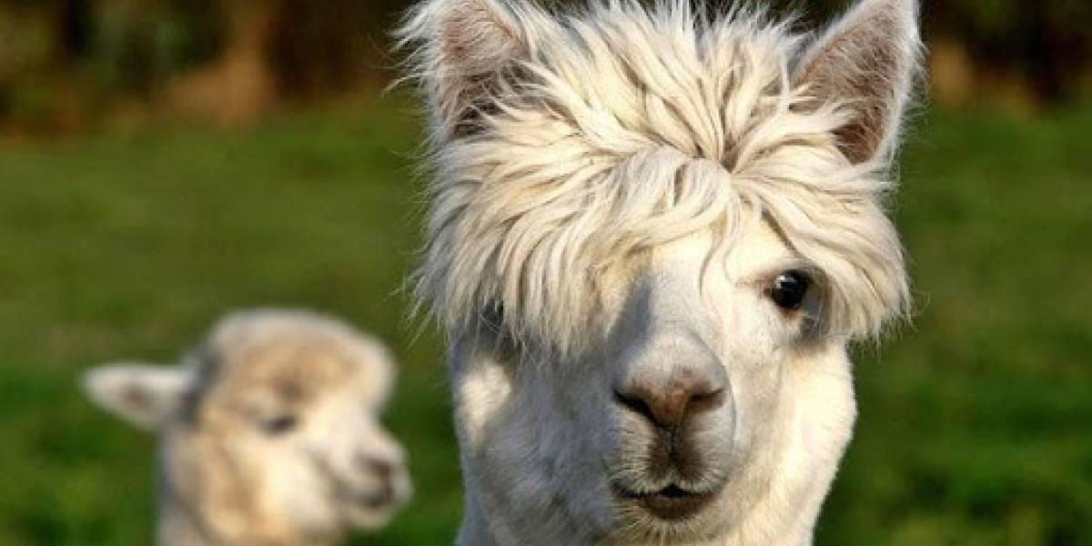 El poderoso anticuerpo de alpaca descubierto por científicos chilenos capaz de neutralizar el coronavirus