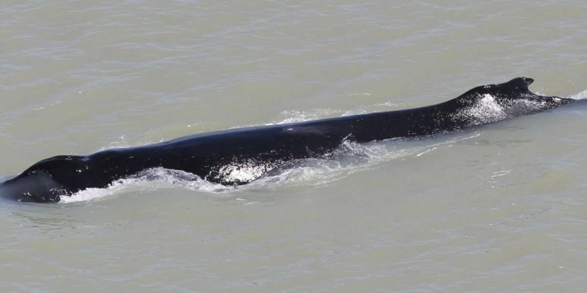 Una ballena jorobada es abandonada por su manada en un río con cocodrilos