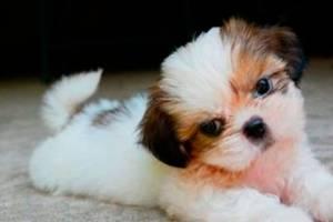 10 fatos sobre cães da raça Shih Tzu