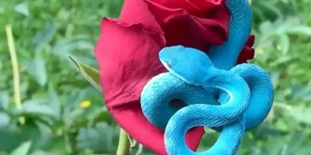 Vídeo que mostra cobra azul extremamente venenosa se torna viral no Twitter