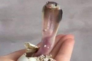 Vídeo que mostra como cobra-rei já nasce pronta para atacar faz sucesso no Twitter