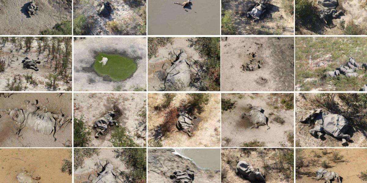 Ciencia: encontraron al culpable de la muerte de más de 300 elefantes en Botsuana