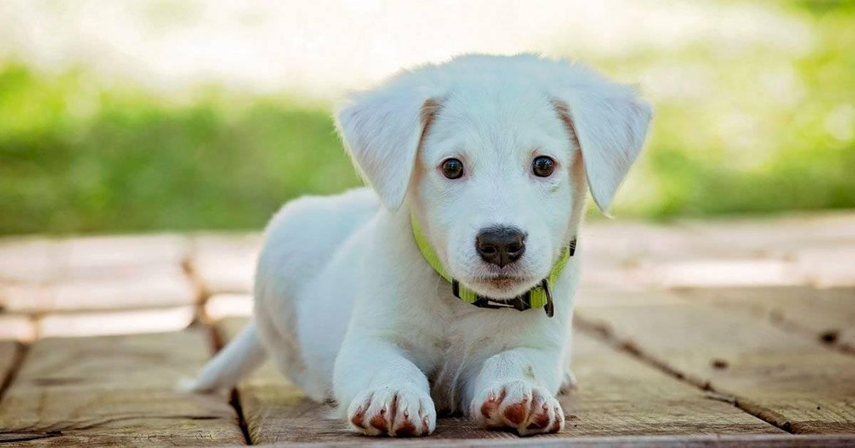 cão filhote